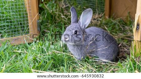 Gray rabbit in front of the rabbit barn