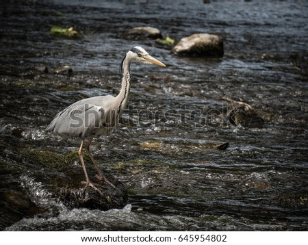 A heron fishing in the Six Mile Water river in Antrim, Northern Ireland #645954802