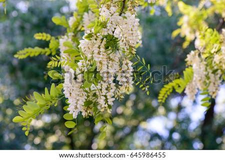 Acacia blooms #645986455