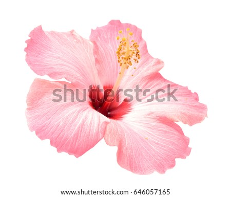 pink hibiscus flower isolated on white background #646057165