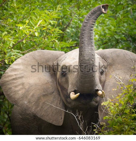 Elephant trumpeting in green forest.