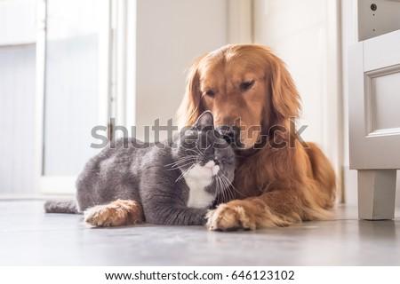 British cat and Golden Retriever #646123102