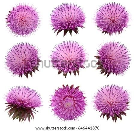 Milk Thistle flower (Silybum marianum) isolated #646441870