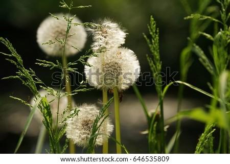 Dandelion and grasses  #646535809