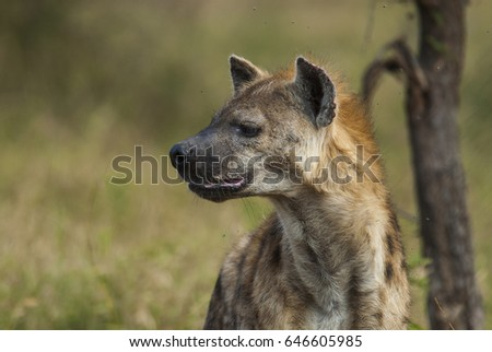 Hyena South Africa #646605985