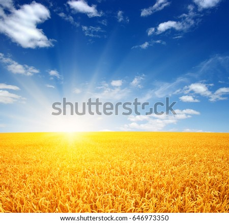 Wheat field and sun in the sky #646973350
