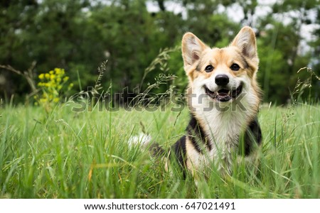 Happy and active purebred Welsh Corgi dog outdoors in the grass on a sunny summer day. #647021491
