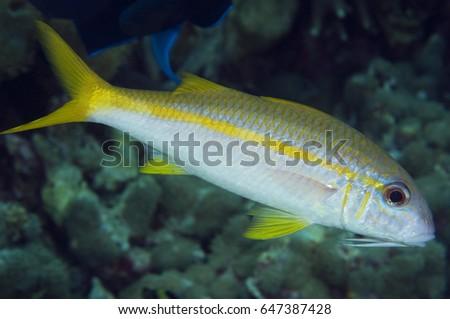 Yellowfin Goatfish, Mulloidichthys vanicolensis, Sulawesi Indonesia #647387428