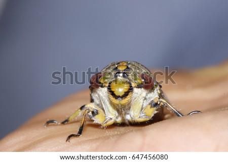 Cicadidae on hand #647456080