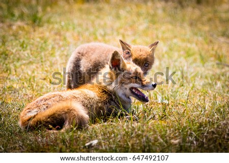 Two red foxes (mother and child) playing in the grass #647492107