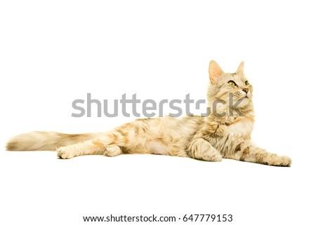 Beautiful Turkish Angora cat tabby isolated in white #647779153