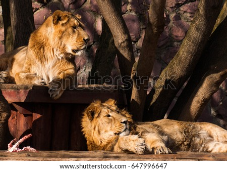 Couple of beautiful lions relaxing in the sun #647996647