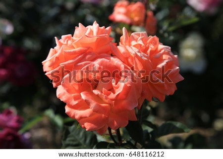 Orange Rose Flower #648116212