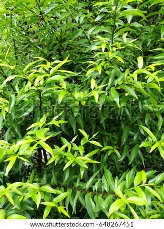 Background of beautiful small leaves with green color. #648267451