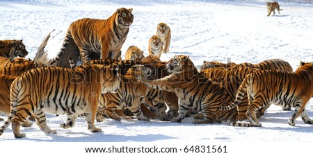 Tigers in the fighting over #64831561