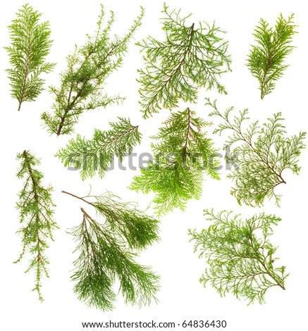Various isolated on white coniferous evergreen plants branches set #64836430