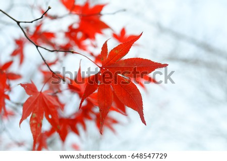 maple leaf #648547729