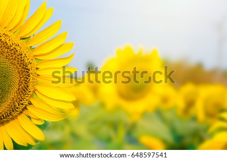 Sunflowers blooming in the farm with blue sky background #648597541