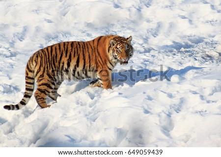 Wild siberian tiger walking on white snow. Sunny winter morning. #649059439
