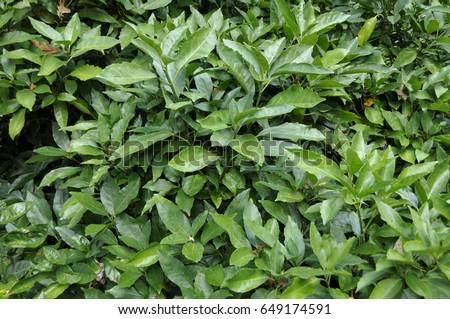 Aucuba japonica 'Variegata' #649174591