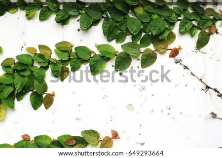The Green Creeper Plant on white Wall.  #649293664