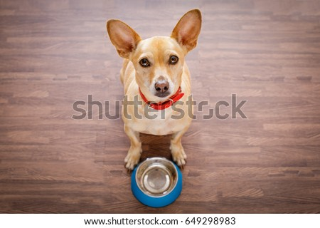 hungry  chihuahua dog behind empty  bowl, isolated wood background at home and kitchen looking up  to owner and begging for food #649298983