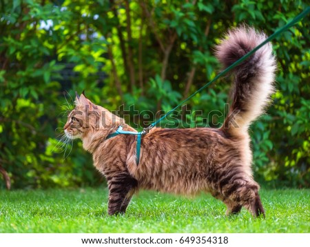 Black tabby Maine Coon cat with leash wandering in backyard. Young cute male cat wearing a harness go on lawn having lifted tail. Pets walking outdoor adventure on green grass in park.  #649354318