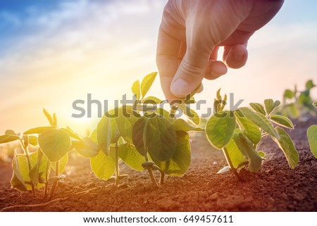 Farmer working in soybean field in morning, hand holding leaf of cultivated plant #649457611