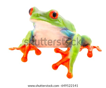funny curious red eyed tree frog, Agalychnis callydrias a beuatiful colored animal from the rain forest of Costa Rica. #649522141