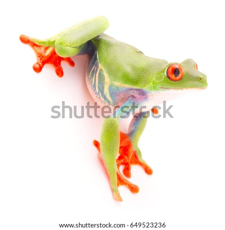 Red eyed tree frog, Agalychnis callydrias. A tropical rain forest animal isolated on a white background. These frogs live in Panama and Costa Rica #649523236