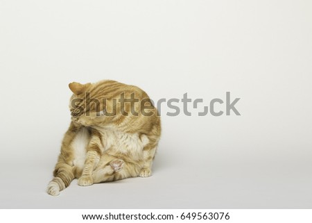 A Beautiful Domestic Orange Striped cat cleaning itself in a funny position. Animal portrait in white background.  #649563076