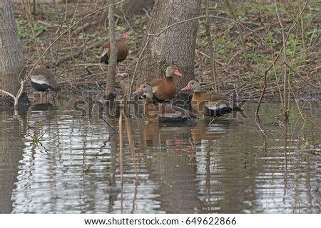 Black-bellied Whistling Ducks in the Forest on Elm Lake in Brazos Bend State Park in Texas #649622866