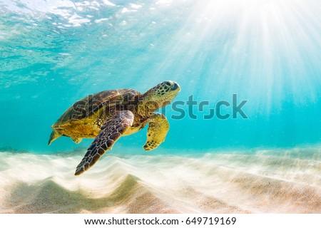 Endangered Hawaiian Green Sea Turtle Cruising in the warm waters of the Pacific Ocean in Hawaii #649719169