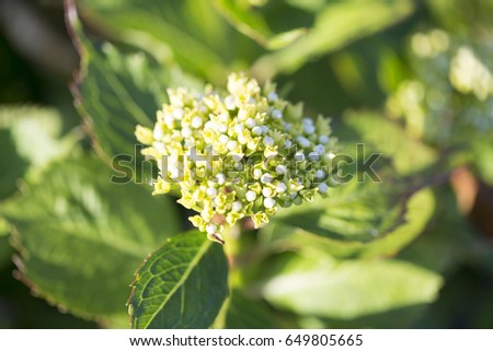 Milkweed flowers blossom in garden / Dusseldorf GERMANY  #649805665