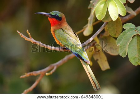 The red-throated bee-eater (Merops bulocki) sitting on the branch with green background #649848001