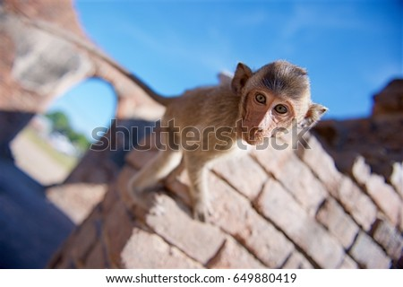 Monkey with ruins Background. #649880419
