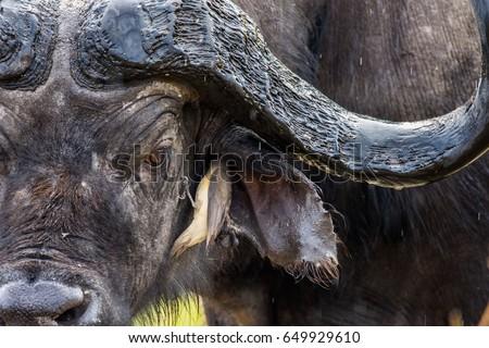 Ox-pecker and the Buffalo #649929610