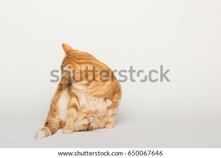 A Beautiful Domestic Orange Striped cat cleaning itself in a funny position. Animal portrait in white background.  #650067646