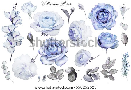 Set watercolor elements of blue rose, collection garden and wild flowers, leaves, branches, illustration isolated on white background, eucalyptus, bud
