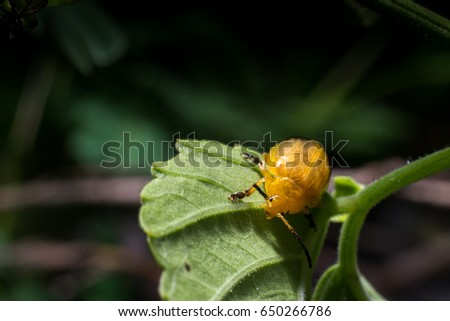 Closeup image of a twin spotted beetle is on the tree leaf. It got orange color and 2 black spots on its wings. #650266786