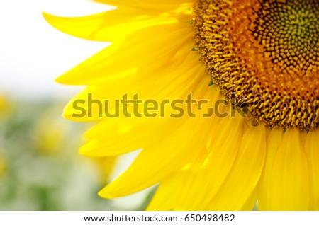 Sunflower of Tuscany #650498482