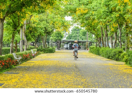 Cassia Fistula (Golden Shower Tree) Blooming at Pingtung Veterans Home, Neipu Township, Pingtung, Taiwan #650545780