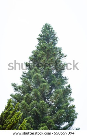 Tree with white sky background #650559094