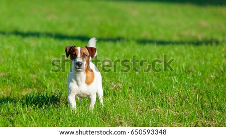 photo of cute jack russel terrier on the wonderful green grass background #650593348