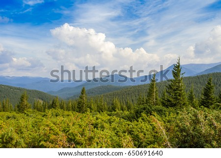 Firs forest in the mountains #650691640