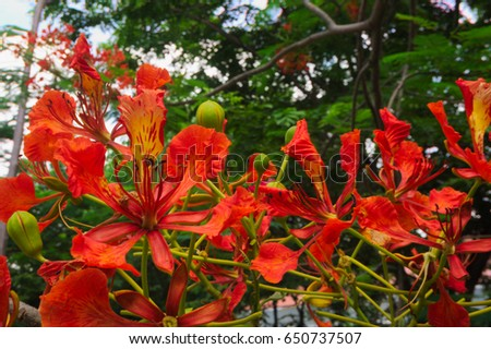 Flam-boyant flower close up, The Flame Tree  flower close up, Royal Poinciana flower close up #650737507