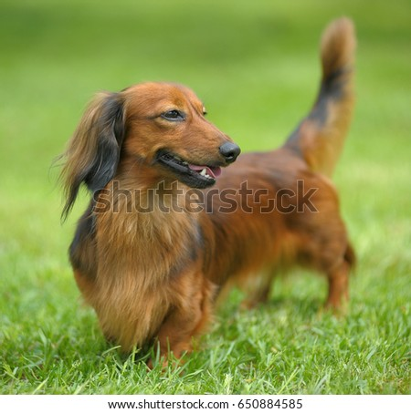 Portrait of Red Long-Haired Dachshund on the Grass. #650884585