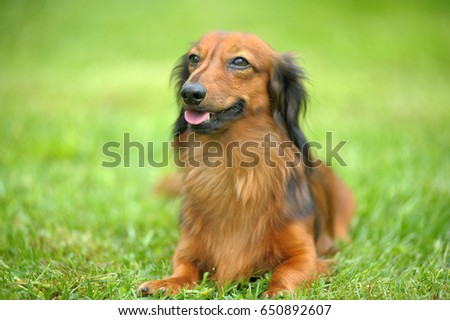 Dachshund on a background of green grass #650892607