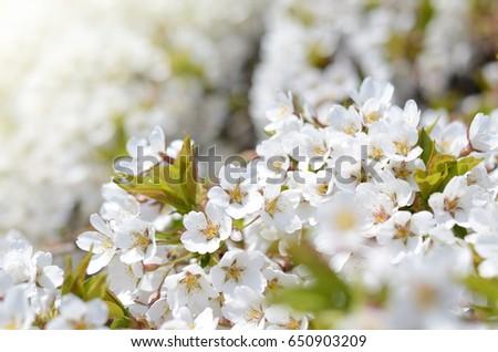 Springtime background with cherry tree flowers. Beautiful sunny photo #650903209