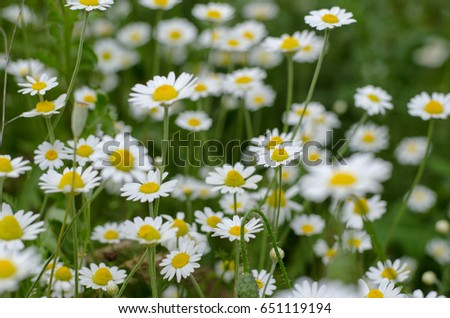 Chamomile flowers summer day closeup #651119194